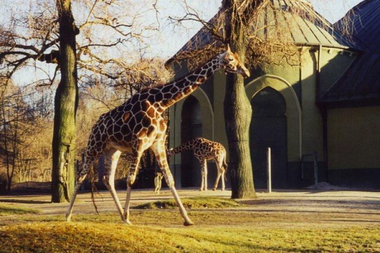 زرافة في حديقة حيوانات هيلابرون