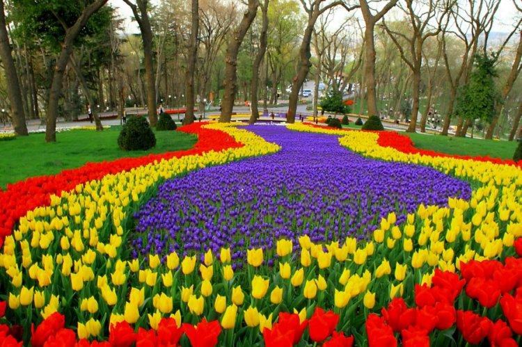 الجمال والإبداع لشكل التوليب وأزهاره الجميلة