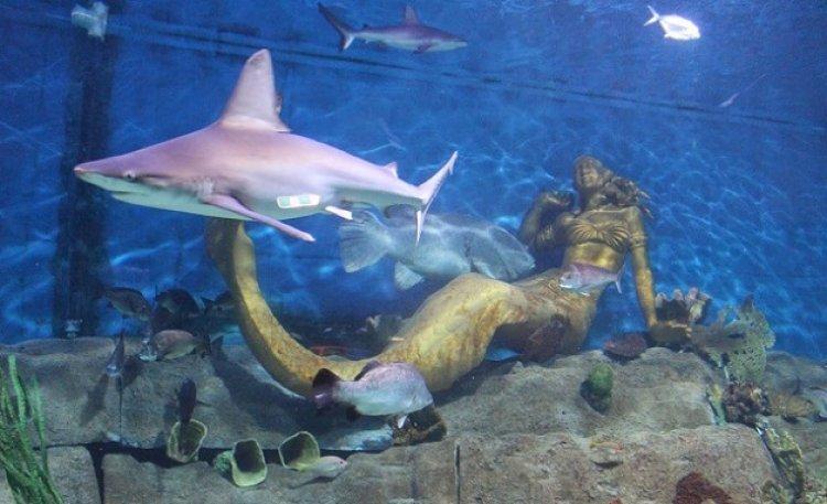 حوض حديقة حورية البحر وقرش الرمل الرمادي في اكواريوم ملبورن