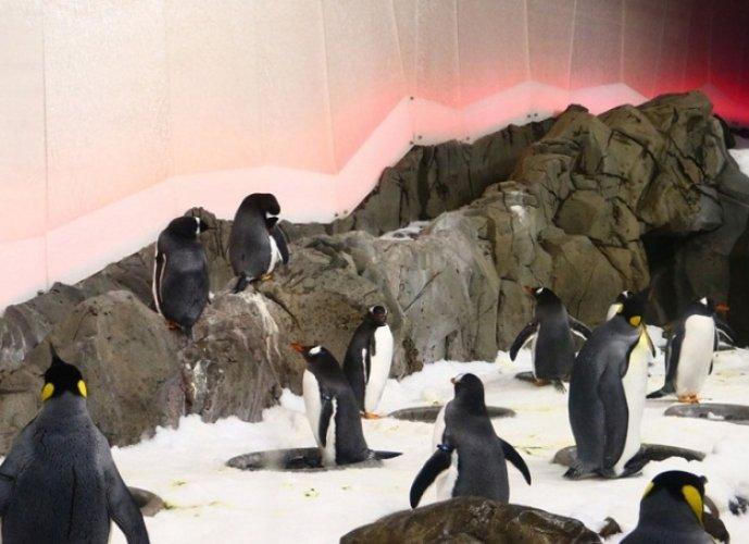 طيور البطريق من نوع الملك والجينتو في اكواريوم ملبورن