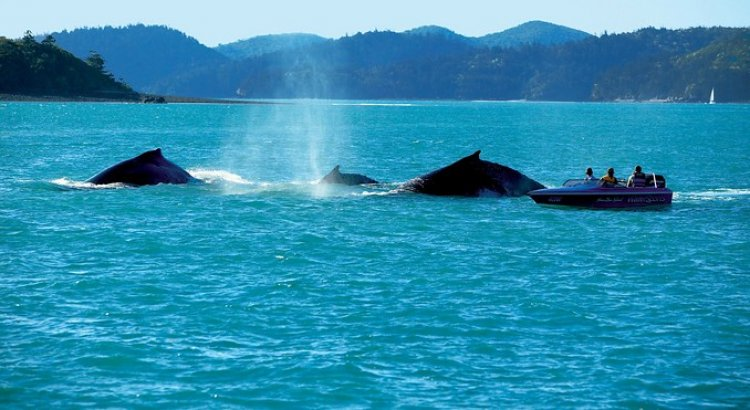 مراكب Whitsundays تلتقط صور لهجرة الحيتان في هاملتون