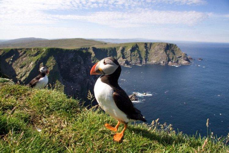 أحد طيور  شتلاند في اسكتلندا