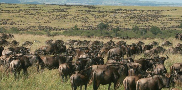 قطيع من الحيوانات البرية في محمية ماساي مارا