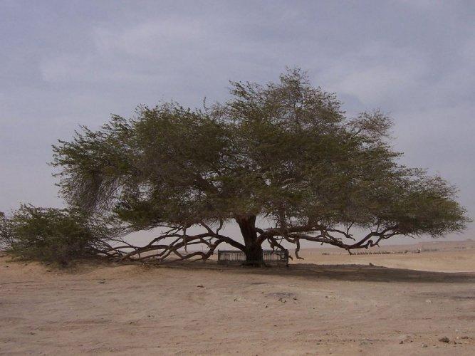 شجرة الحياة، شجرة وحيدة فى وسط الصحراء في البحرين