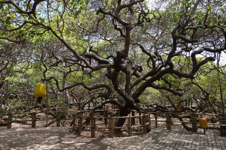 أكبر شجر كاجو في العالم