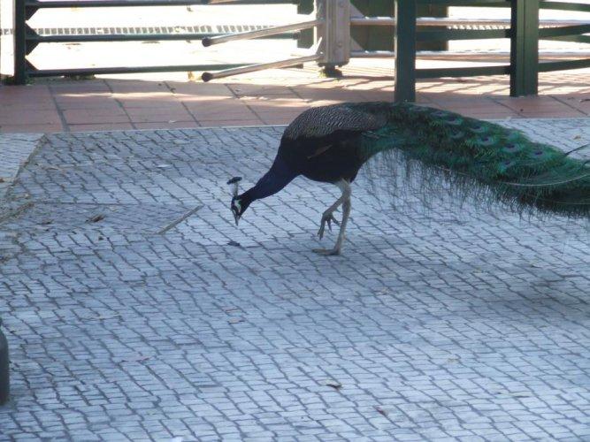 طاووس يتحرك بكل حرية في حديقة حيوانات لشبونة