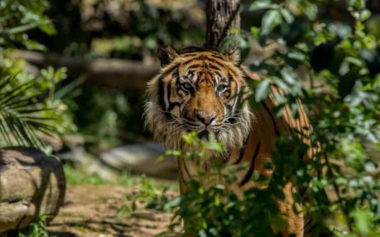 نمر في حديقة حيوانات لشبونة