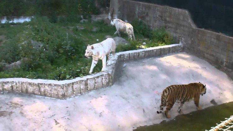 النمر الأبيض في حديقة الحيوانات والتسلية بن عكنون