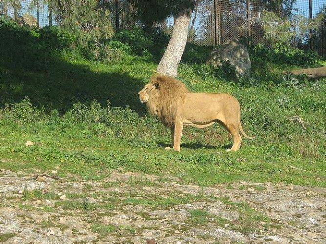 الأسد في حديقة الحيوانات والتسلية