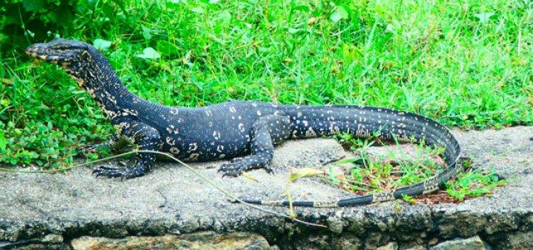 الحيوانات في مستنقع موثوراجاويلا في سيرلانكا