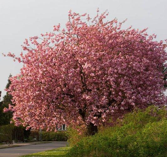 شجرة الكرز في مدينة صفرو