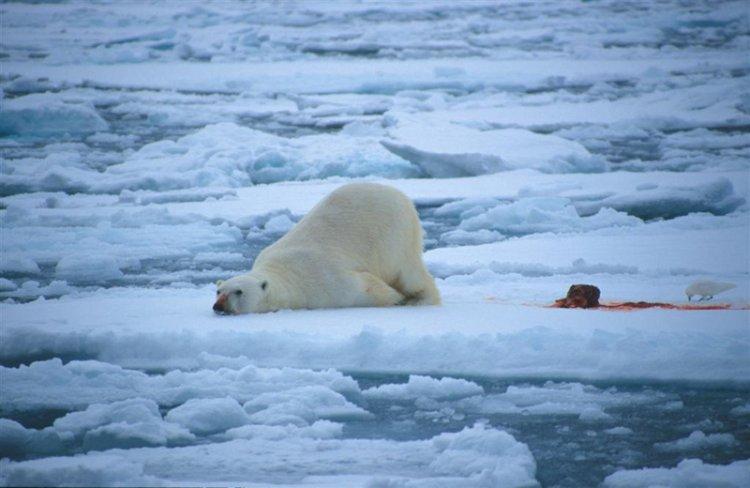 الدببة القطبية في سفالبارد