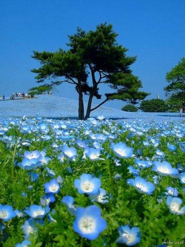 حديقة هيتاشي في اليابان