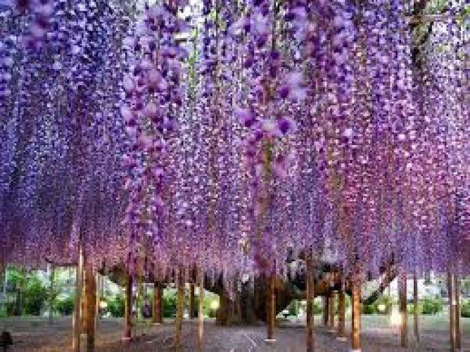 حديقة الزهور أشيكاغا