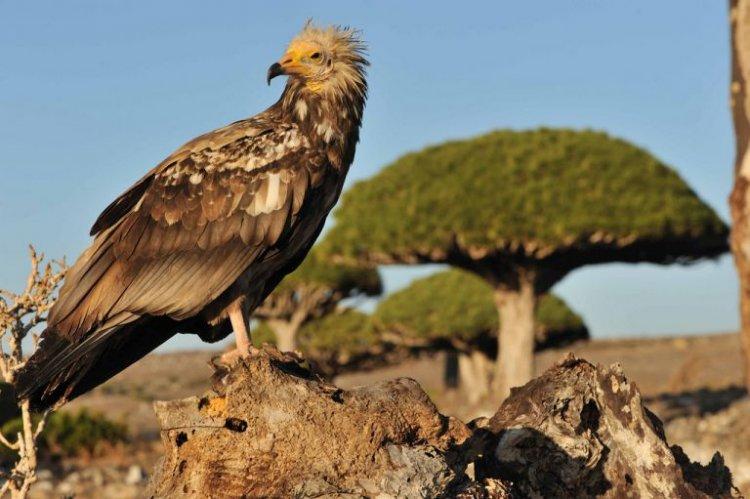 الطيور النادرة في جزيرة سقطري