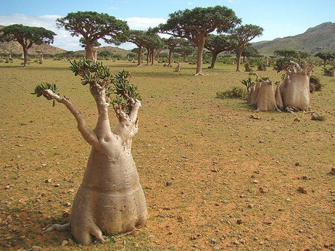 الأشجار والنباتات القديمة المعمرة في جزيرة سقطري
