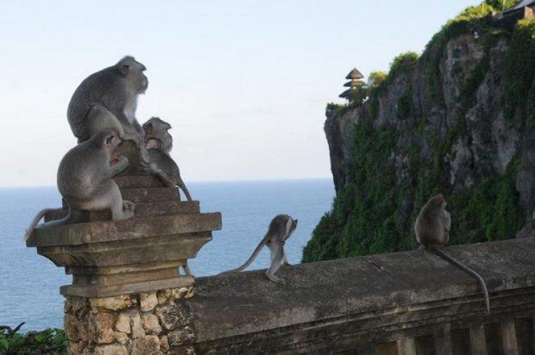 مجموعة من القرود أمام معبد أولو واتو إندونيسيا