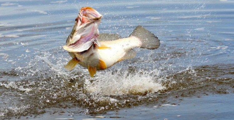 السمك البلطي النيلي في بحيرة فيكتوريا