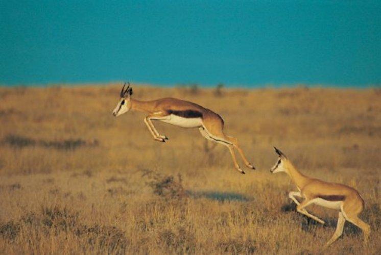 حيوان سيرينغبوك والقفز في محمية وسط كالاهاري