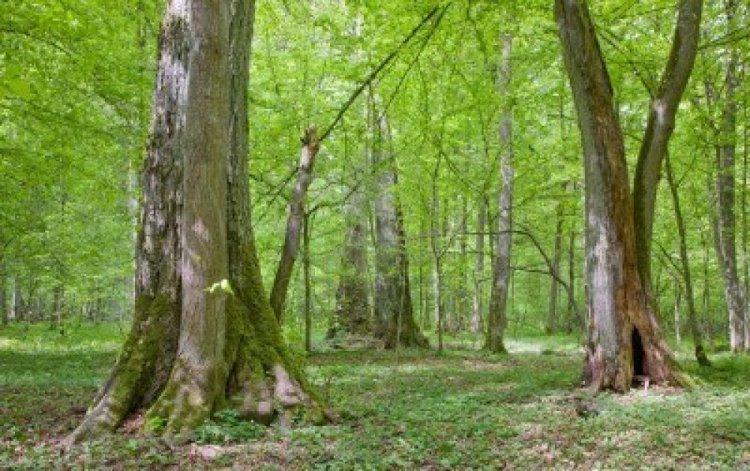 الغابات والأشجار الكثيفة في غابة بياوفيجا