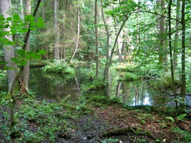 غابة بياوفيجا موطنا للأشجار القديمة المعمرة في القارة الأوروبية