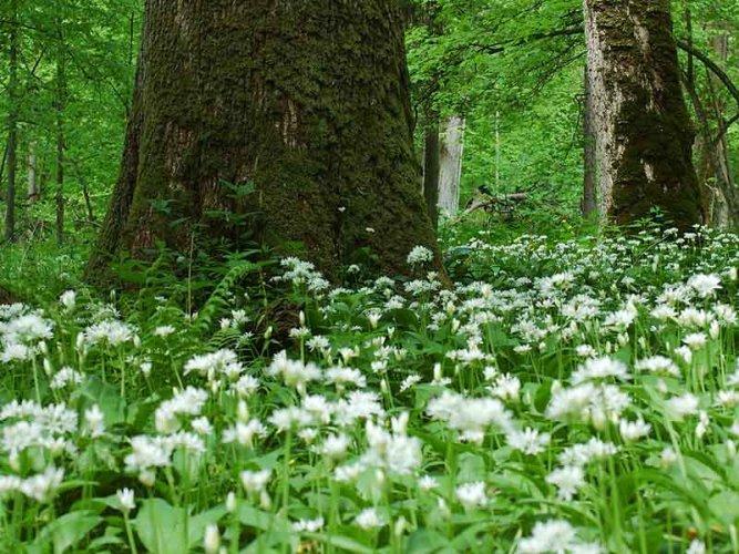 غابة بياوفيجا إحدى مواقع التراث العالمي من جانب اليونسكو