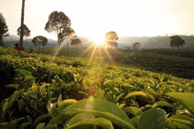 حقول مزرعة جونونج ماس في بونشاك - إندونيسيا