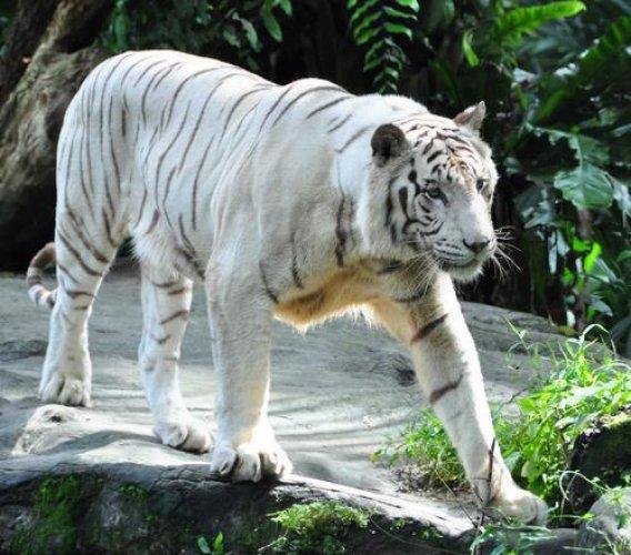 مشاهدة النمور البيضاء داخل حديقة صخرة المليون