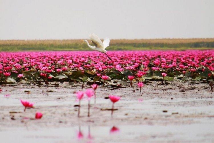 الزهور والنباتات اتي تطوف فوق بحيرة اللوتس الاحمر