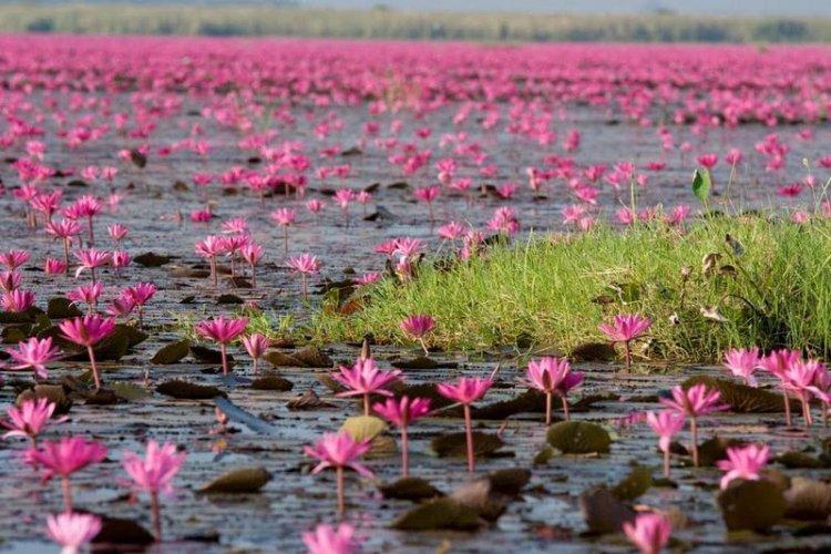 بحيرة اللوتس الاحمر بيئة مناسبة للطيور النادرة