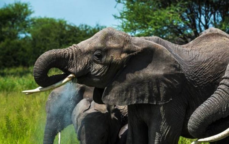 فيلة السافانا الأفريقية في منتزه تارانجيري