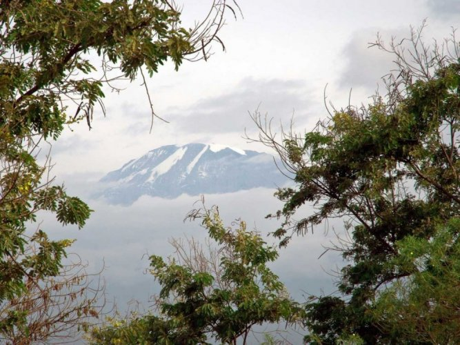 اشجار من جبل كليمنجارو