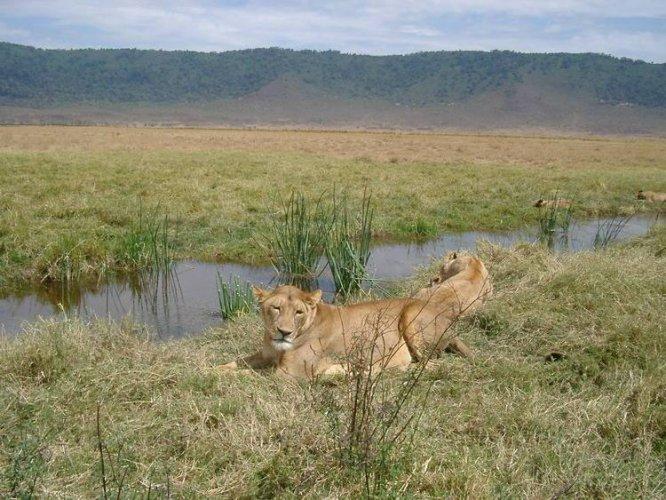 الأسود البرية في محمية نجورونجورو