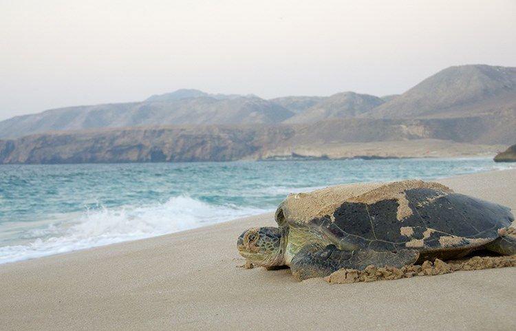 Ras Al Jinz Turtle Reserve - Oman