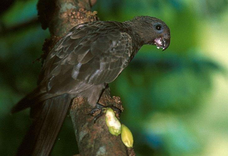 طائر الببغاء الأسود