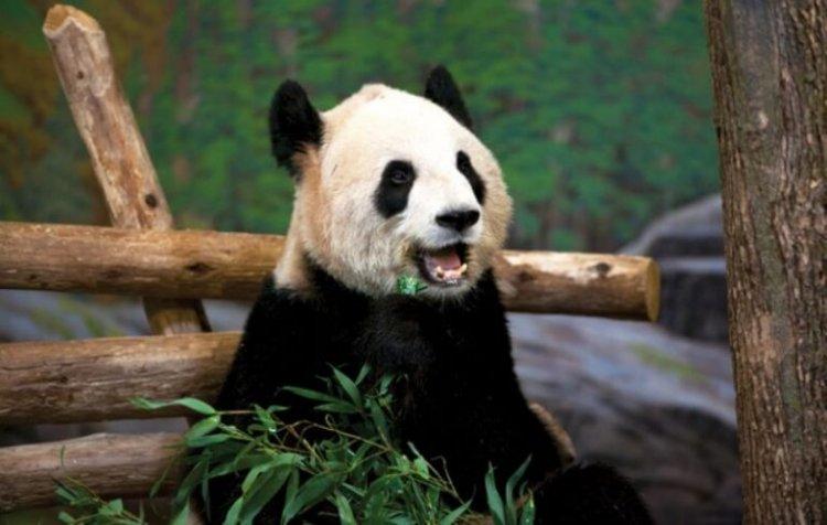 الباندا في حديقة حيوان تورونتو