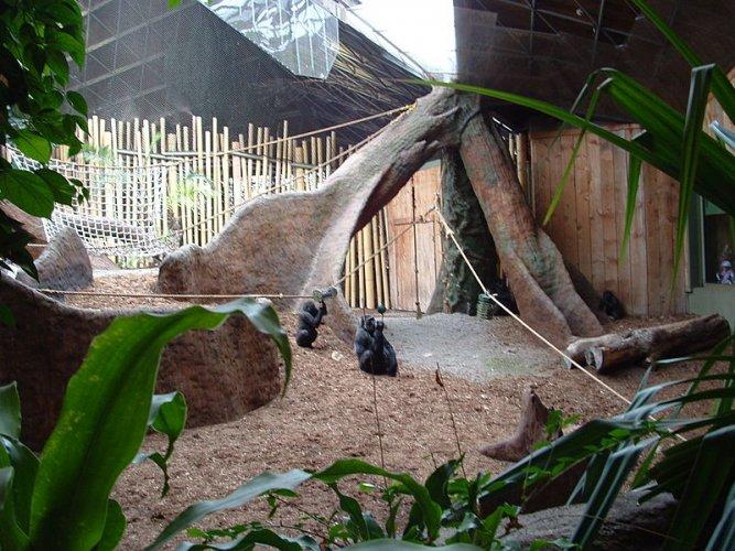 الغوريلا في حديقة حيوان تورونتو