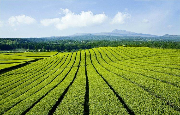 حديقة الشاى الأخضر جزيرة جيجو