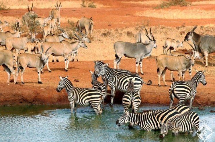 الحمار الوحشي في حديقة أمبوسيلي الوطنية