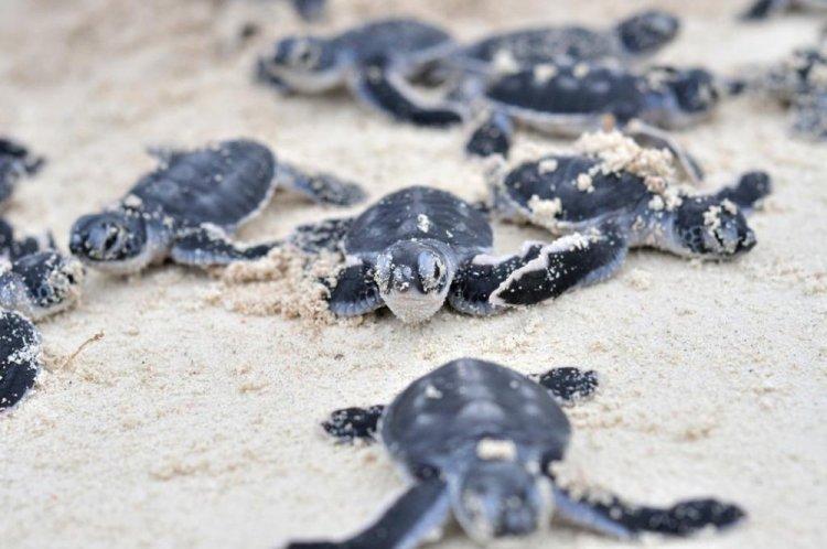 السلاحف البحرية في جزيرة بولا بوم بوم