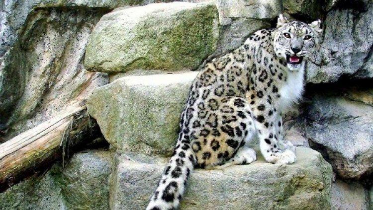 النمور في محمية جبل علبة