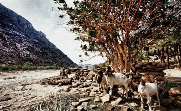 الغزال المصري في محمية جبل علبة حلايب