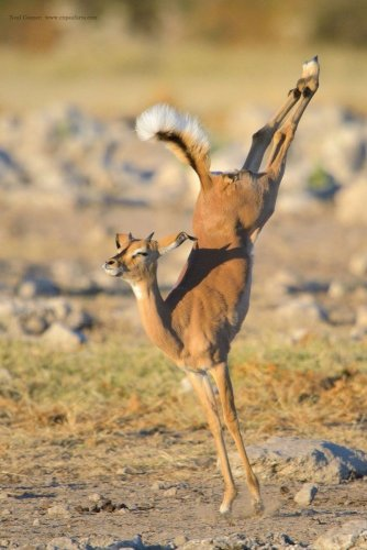 الحياة البرية في منتزة إيتوشا الوطني في ناميبيا