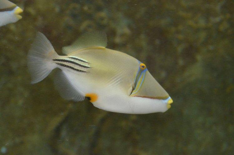 سمكة بيكاسو