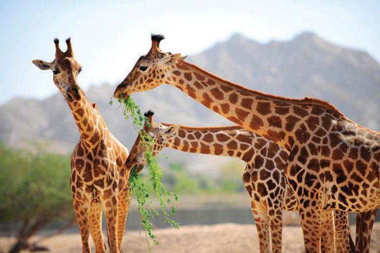 تشكل حديقة الحيوانات بالعين موطنا لاكثر من 4000 حيوان