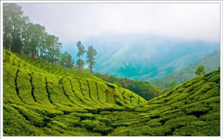 مزارع الشاى في باهانج - ماليزيا