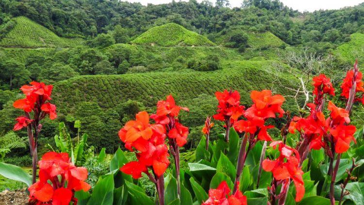 مزارع الشاي والفراولة في باهانج - ماليزيا