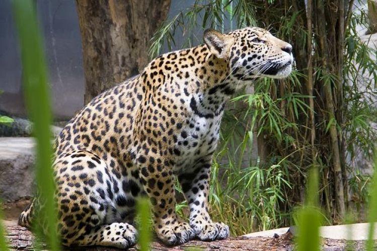النمور والفهود كلها موجودة في مكان واحد