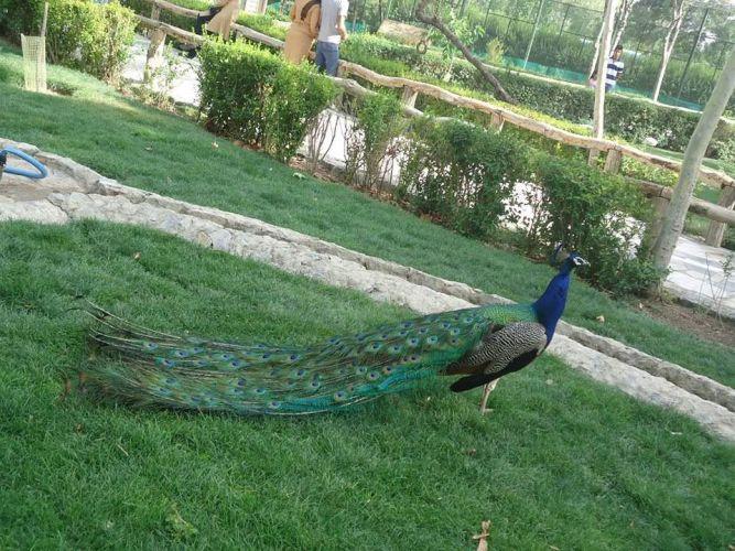 طاووس بحديقة حيوان جوهور - ماليزيا