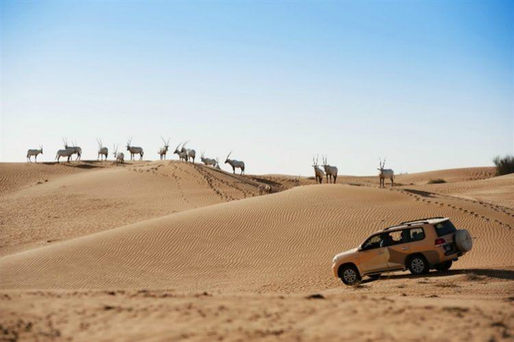 محمية دبي الصحراوية - منتجع المها